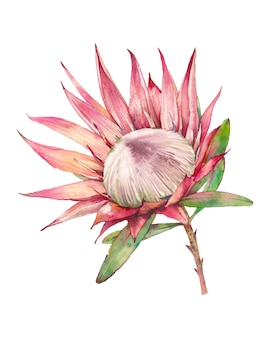 Akwarela kwiat protea. ręcznie malowane egzotyczne rośliny na białym tle. botaniczna ilustracja lato flory