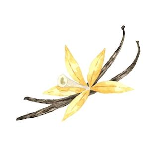 Akwarela kwiat wanilii w strąkach