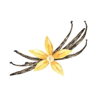 Akwarela kwiat wanilii z patykami