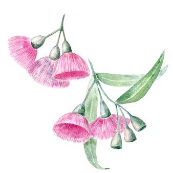 Akwarela kwiaty eukaliptusa