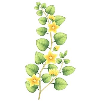 Akwarela kwitnąca roślina. ilustracja trawy dwupennej ze złotymi kwiatami.
