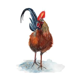 Akwarela malarstwo kurczaka na białym tle