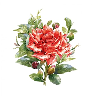 Akwarela malarstwo kwiat, róża na białym tle