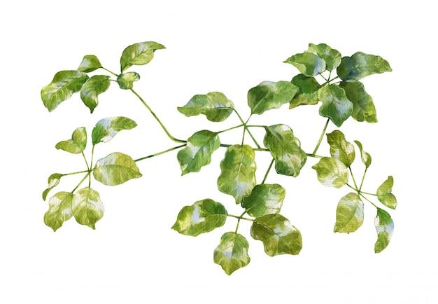 Akwarela malarstwo zielonych liści na białym tle