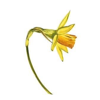 Akwarela narcyz. dziki kwiat ustawia odosobnionego na bielu. botaniczna akwarela ilustracja, żółty bukiet narcyzów, rustykalne kwiaty. akwarela ilustracji na białym zestaw rysowania kwiatów