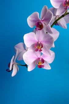 Akwarela orchidei gałąź, ręka rysująca kwiecista ilustracja odizolowywająca na błękitnym tle