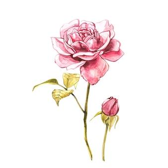 Akwarela różowe dzikie róże. dziki kwiat ustawia odosobnionego na bielu. botaniczna akwarela ilustracja, bukiet róż, rustykalne kwiaty. pojedynczo na białym