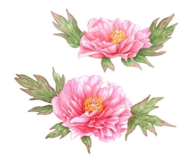 Akwarela różowe piwonie z liśćmi.