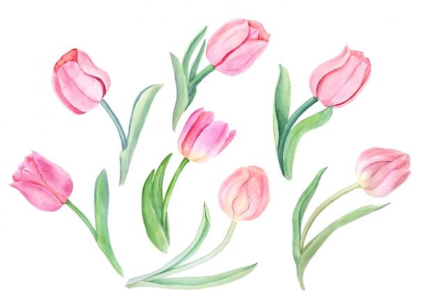 Akwarela różowe tulipany vintage ilustracji botanicznych