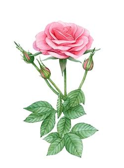 Akwarela różowy kwiat róży.