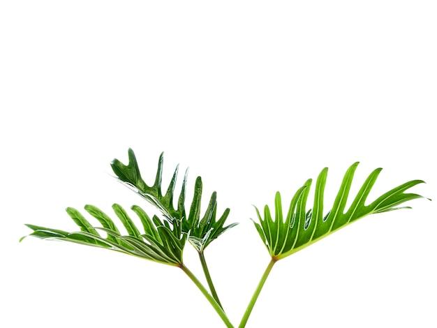 Akwarela tropikalny filodendron xanadu liść