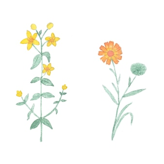 Akwarela tutsan i nagietek na białym tle. ręcznie rysowane zioło lecznicze na białym tle.