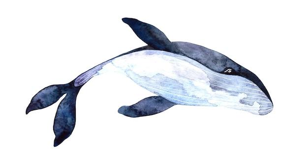 Akwarela wieloryb błękitny, ręcznie malowana ilustracja na białym tle, realistyczne zwierzęta podwodne.