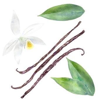 Akwarela zestaw kwiat wanilii