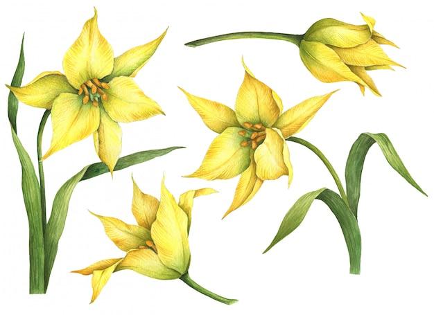 Akwarela zestaw żółte tulipany na białym tle