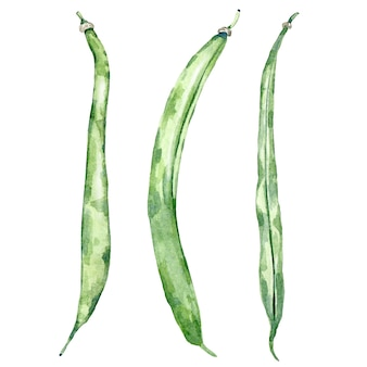 Akwarela zielona fasola