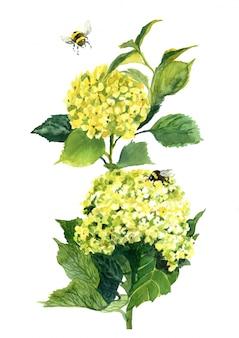 Akwarela żółty kwiat hortensji
