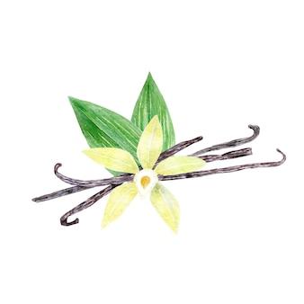Akwarela żółty kwiat wanilii