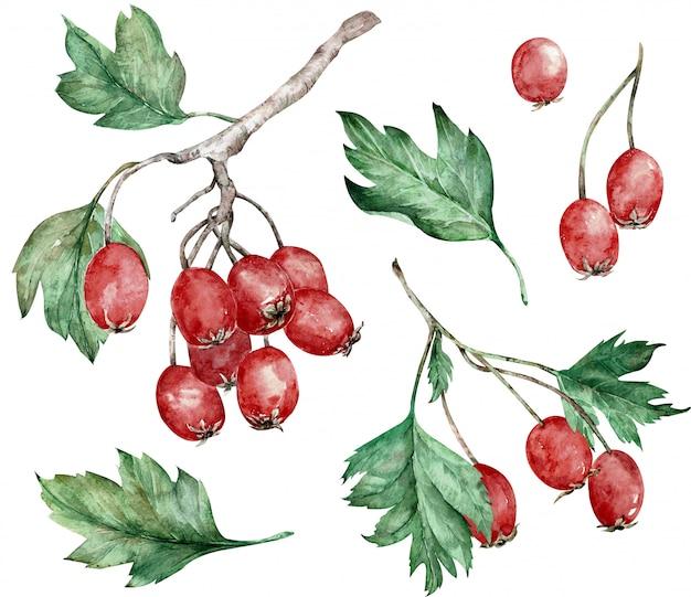 Akwareli ilustracja głogowe czerwone jagody i zieleń liście na gałąź. sztuka botaniczna. ręcznie rysowane clipart.