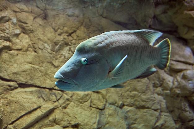 Akwarium morskiego akwarium z garbem maoryskim lub cheilinus undulatus