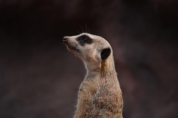 Alarmowy wartownik meerkat na niewyraźnym tle