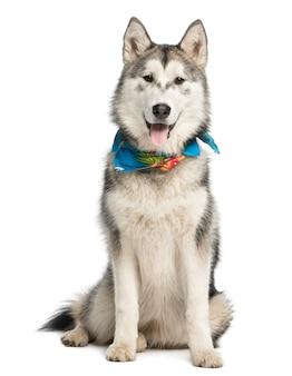 Alaskan malamut ubrany w niebieski szalik