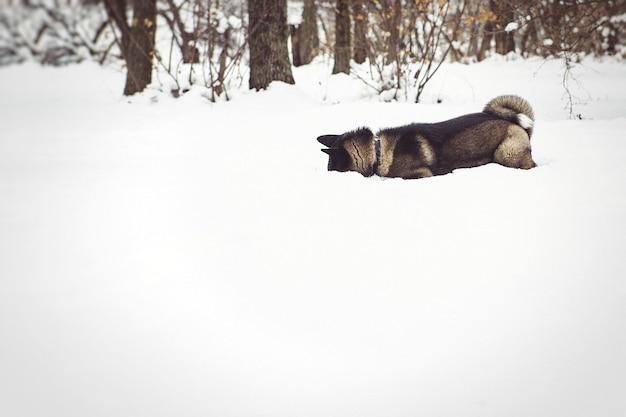 Alaskan malamute ciemny kolor w środowisku naturalnym spacerując po śniegu