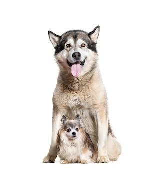 Alaskan malamute dyszy i siedzi psy chihuahua