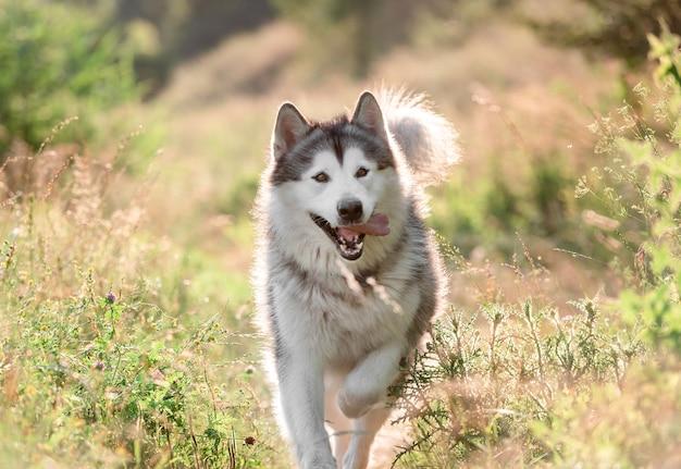 Alaskan malamute pies biegający na słonecznym polu