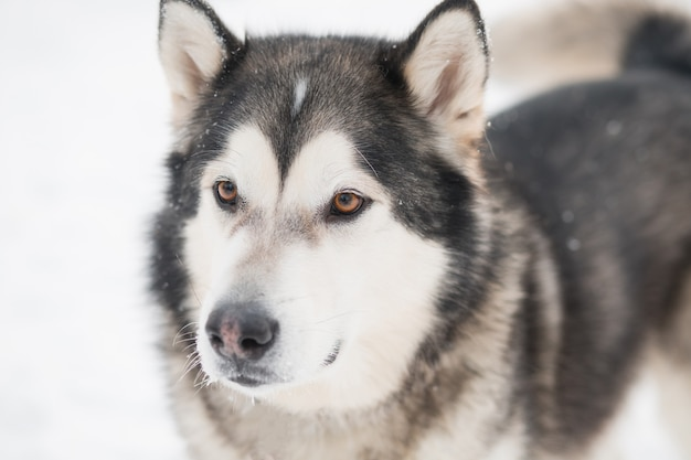 Alaskan malamute pies z brązowymi oczami w śniegu