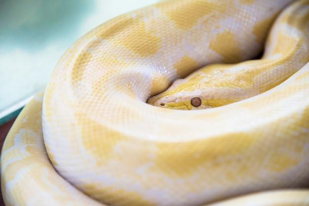 Albino birmański python (pyton złoty tajski) złoty python, pyton siatkowy (python reticulatus)