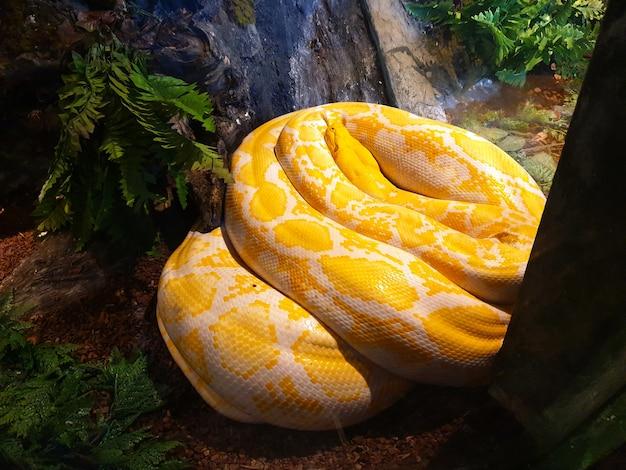 Albino siatkowaty żółty wąż pytona leżący na ziemi na farmie węży