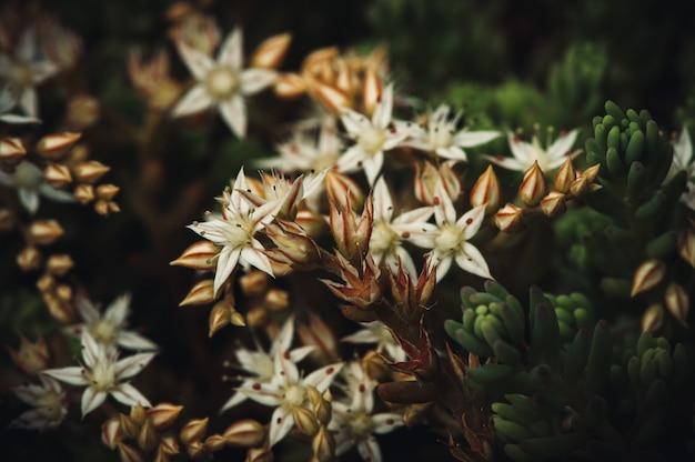 Album sedum hiszpański kwitnący biały. soczysta roślina magiczne piękne kwiaty z bliska.