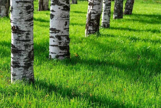 Aleja brzozowa w zielonej trawie. parkowa przyroda późnym latem. rekreacja na świeżym powietrzu.