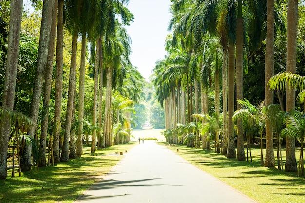 Aleja palmowa, piękne atrakcje sri lanki. krajobraz cejlonu