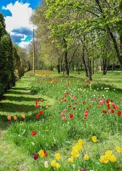 Aleje tulipanów w arboretum kropywnycki w słoneczny wiosenny dzień