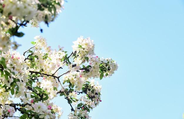 Alergia wiosenna. botanika i ogrodnictwo kwiaty jabłoni. rośliny miodowe. inspirujące kwiaty. koncepcja ogrodu botanicznego. tło wiśniowe kwiaty. przetargu kwiaty na tle niebieskiego nieba. kwiatowy tło.