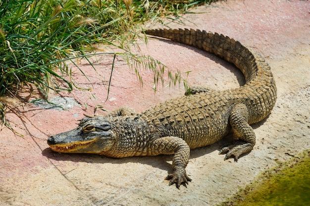 Aligator lub krokodyl