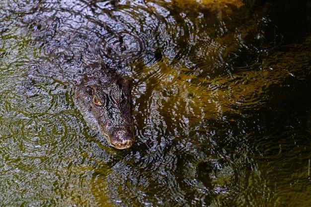 Aligatora lub krokodyla zwierzęta przyglądają się zbliżenie