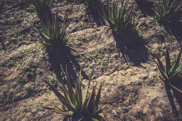 Aloe vera rośnie