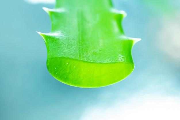 Aloe vera żel w zielonym liściu z bliska na jasnym tle.