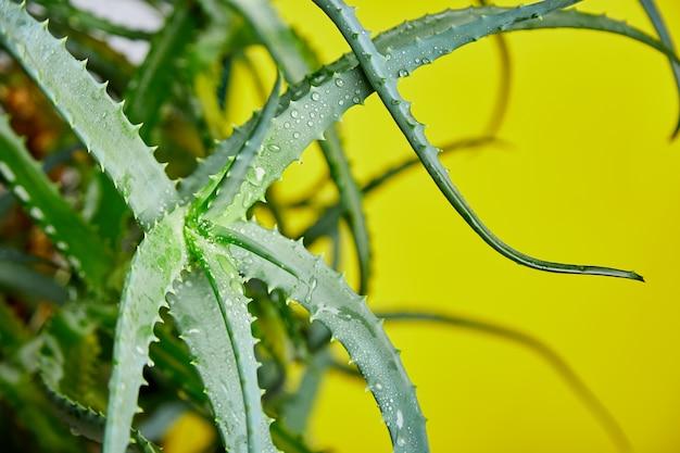 Aloes jest popularną rośliną leczniczą dla zdrowia i urody, na żółtym tle. przydatny lek ziołowy do pielęgnacji skóry i włosów stosowany jako zabieg, smoothie. zamyka up zieleni liście.