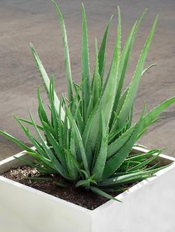 Aloes posadzony w białej doniczce na zewnątrz.