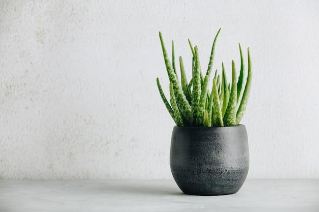 Aloes zwyczajny w nowoczesnej doniczce i białej ścianie
