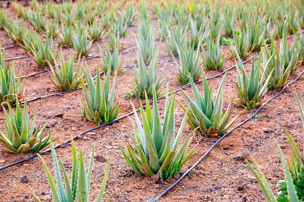 Aloesu vera pole przy wyspami kanaryjska hiszpania