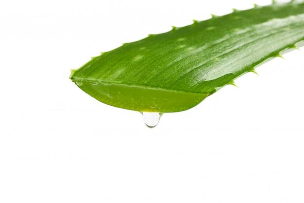 Aloesu vera świeży liść odizolowywający na bielu, zbliżenie. oczyszczalnia