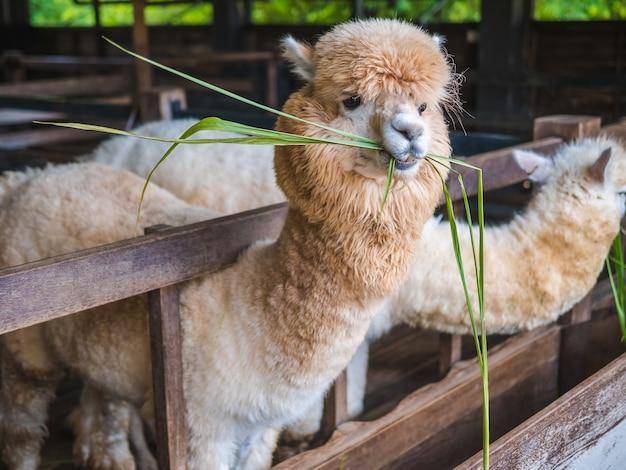 Alpagowy lama zakończenie w górę portreta białego i brown śliczny życzliwy karmienie