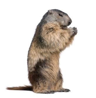 Alpejski świstak - marmota marmota na bielu odizolowywającym