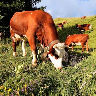 Alpejskie krowy górskie jedzą kwiaty we francji wiosną