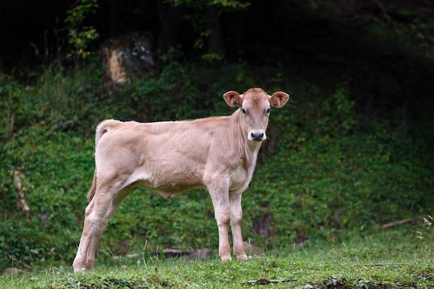 Alpejskie pastwisko w lesie dla krów i cieląt